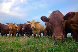 antibiotics for animals